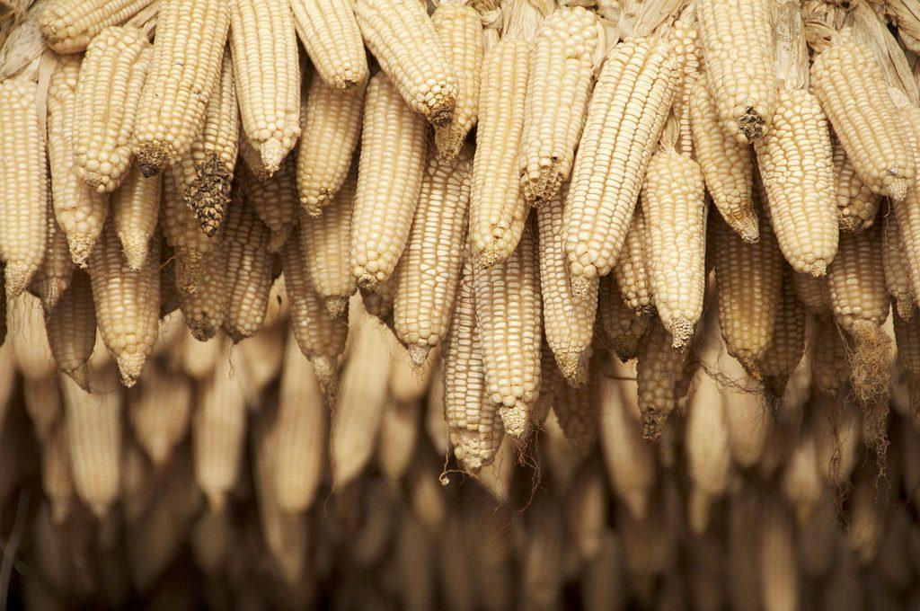 biofortified-maize