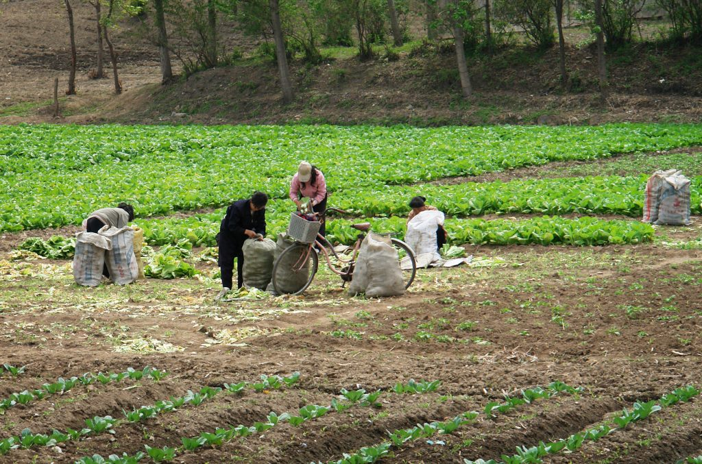 Chongsalli, North Korea - April 30, 2008: Local women collecting vegetables to bags on the field