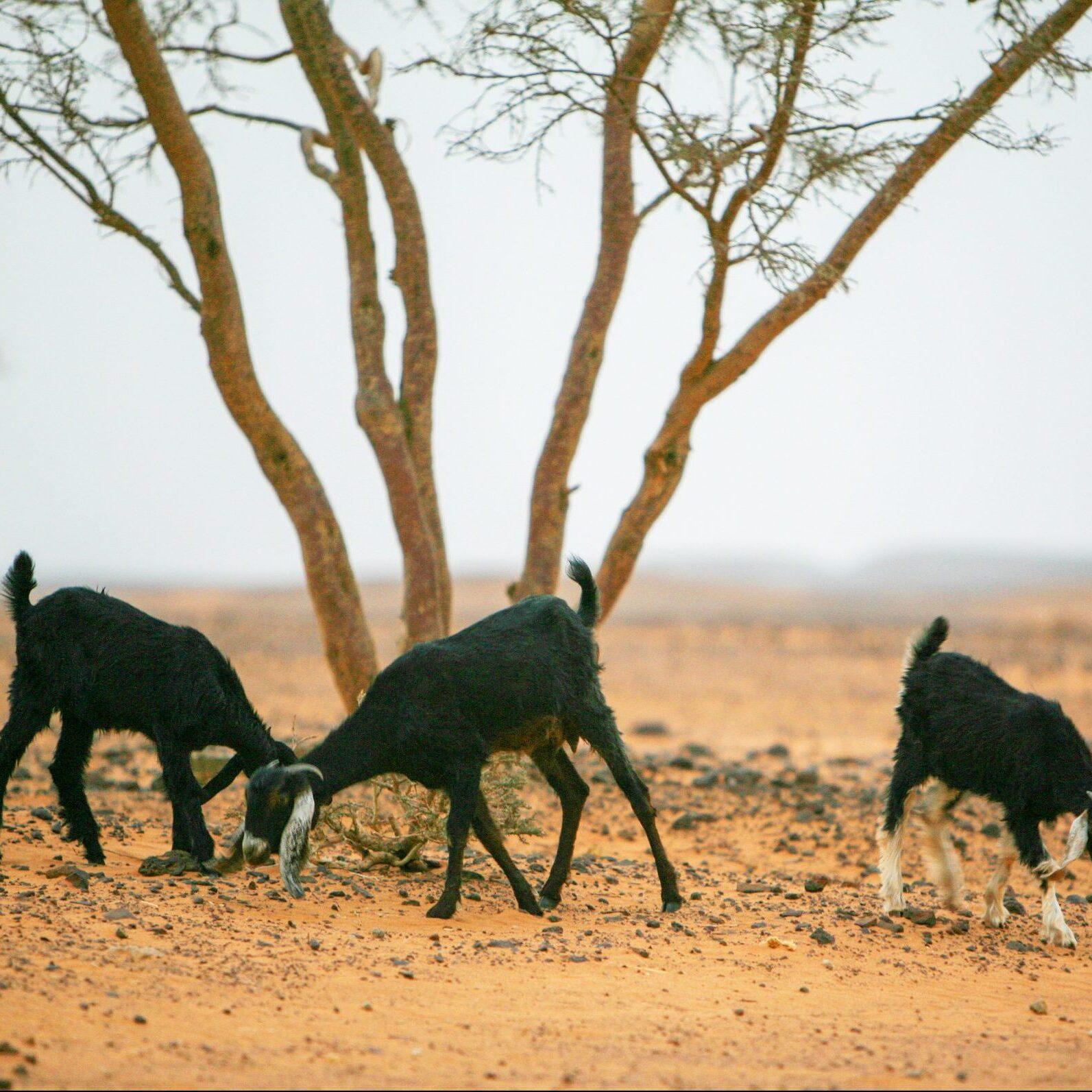 Goats under a thorn tree in the Nubian desert, near the abandoned pyramids of Meroe, an ancient city on the east bank of the River Nile, in northern Sudan. Meroe was the capital of the Kingdom of Kush for several centuries. The pyramids are funerary elements of the necropolis for the Nubian kings and queens, also known as the Black Pharaohs. It is a UNESCO world heritage site. There are more pyramids in Sudan than in Egypt. The Nubian Desert is in the eastern region of the Sahara Desert, between the Nile and the Red Sea.